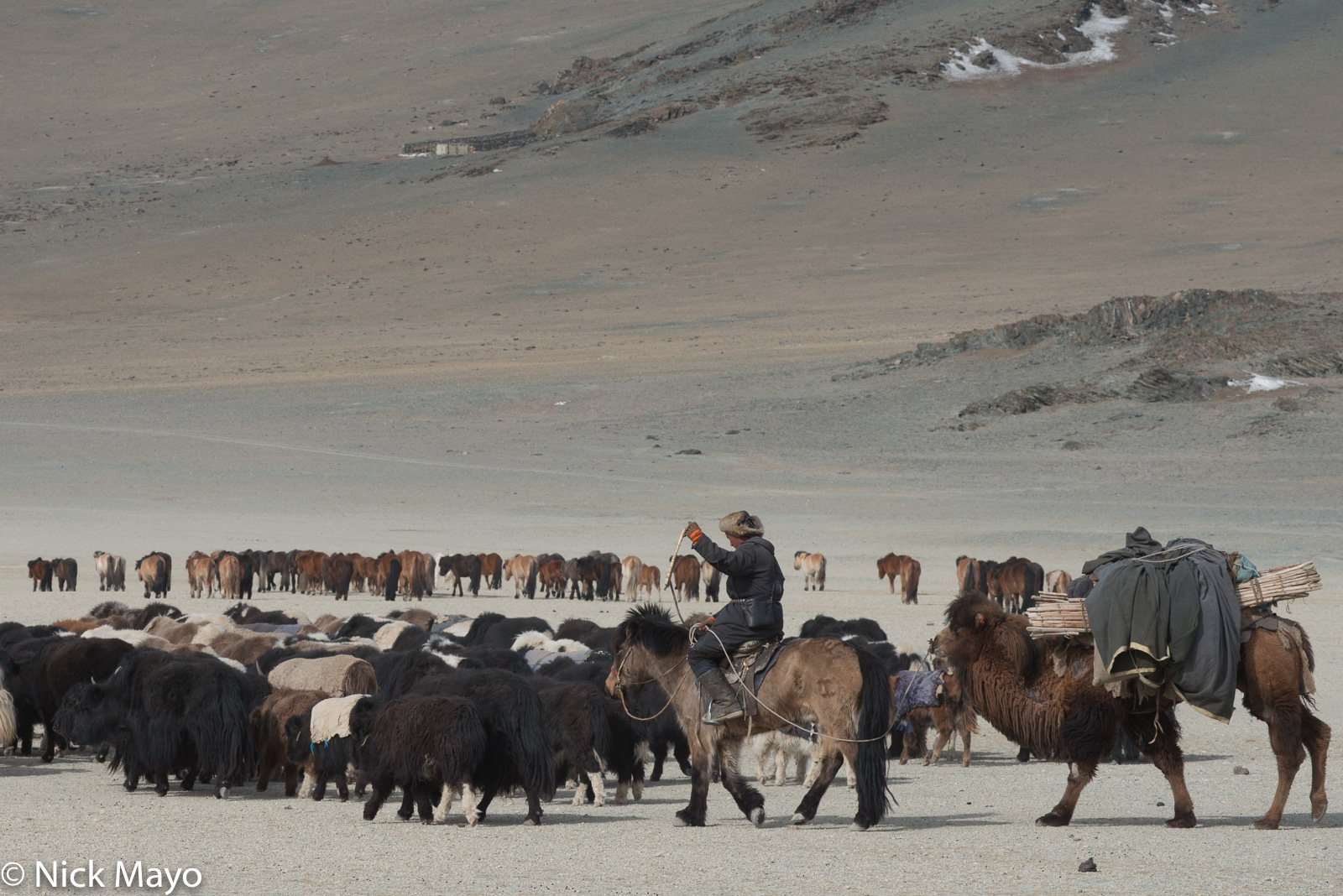 Bayan-Ölgii, Camel, Herding, Horse, Kazakh, Mongolia, Pack Animal, Yak, photo
