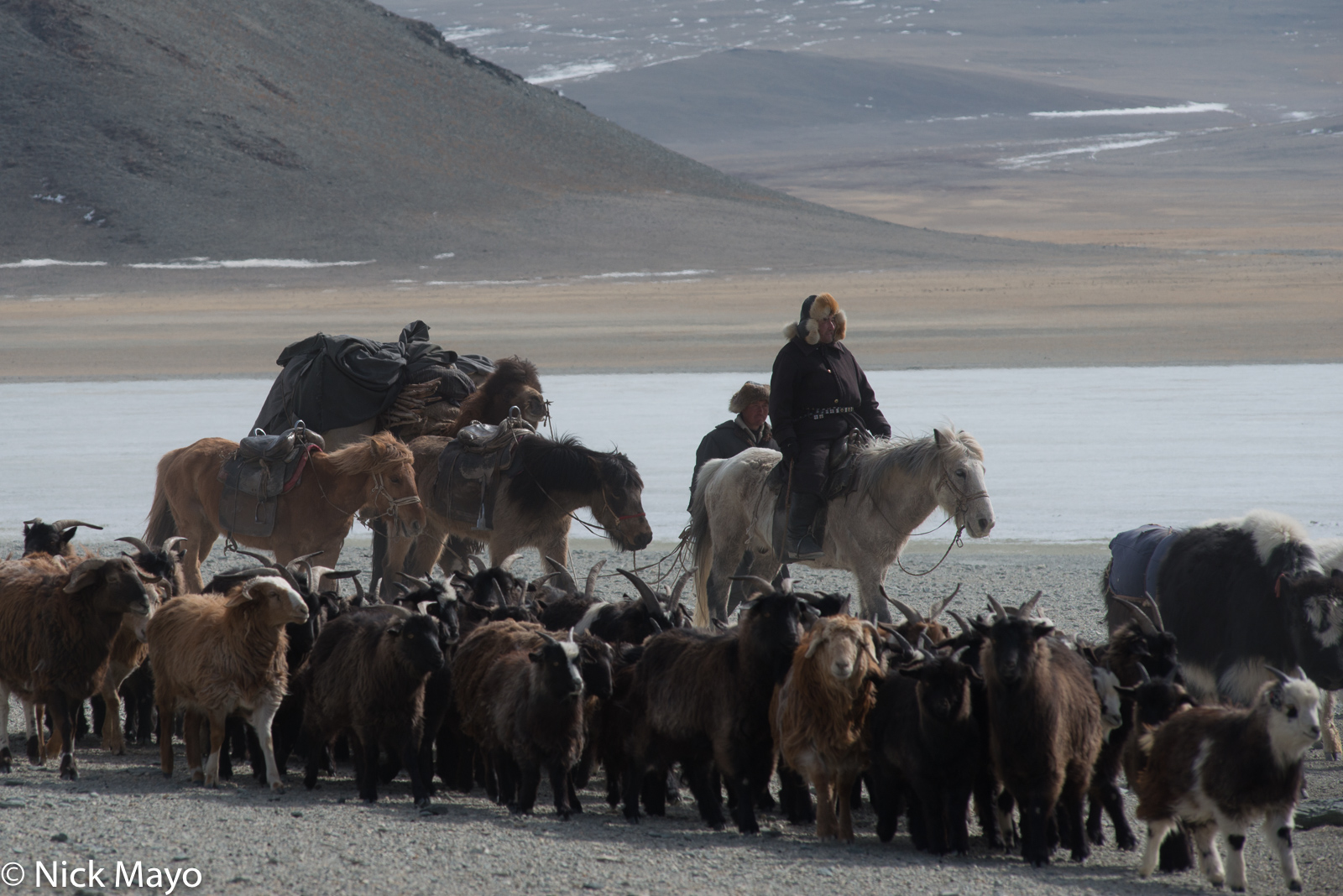 Kazakh herdsmen with their horses and pack camel driving their sheep and goats during the spring migration in Sagsai sum.