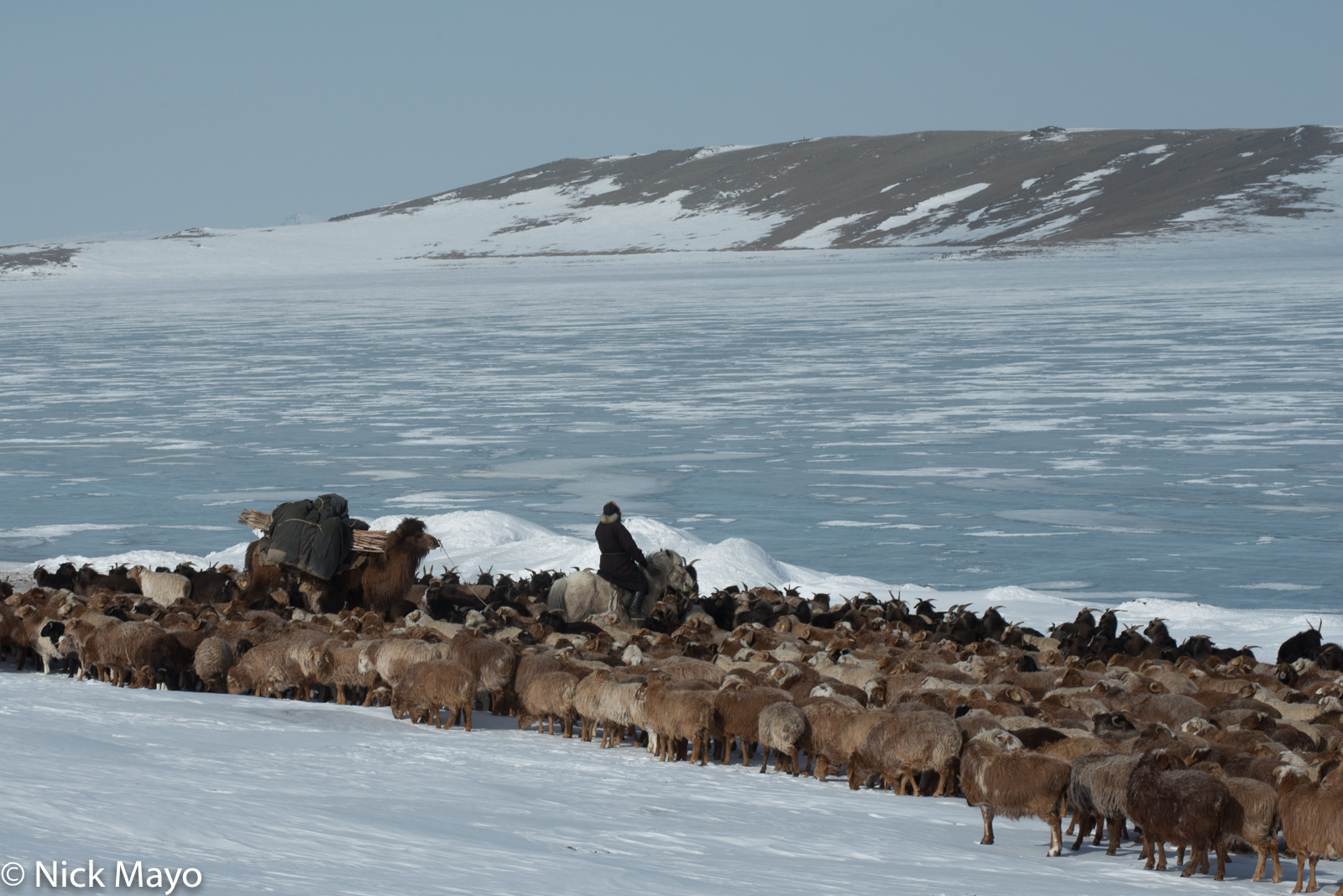 Bayan-Ölgii, Camel, Goat, Horse, Kazakh, Mongolia, Pack Animal, Sheep, photo
