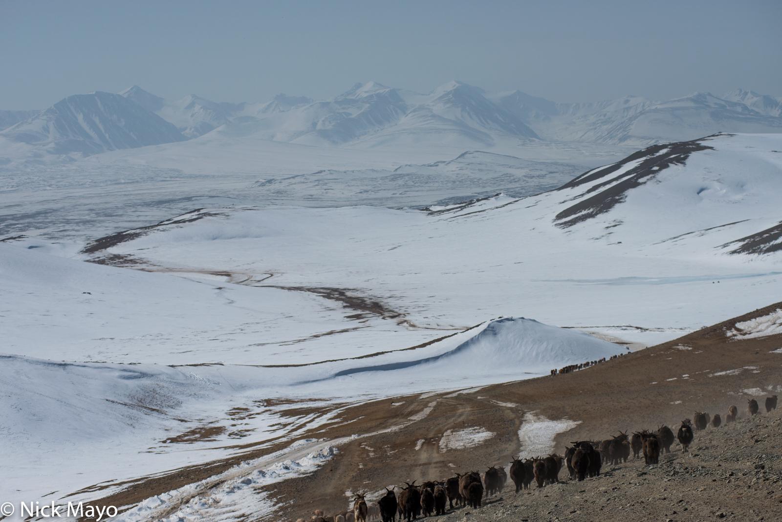Bayan-Ölgii, Goat, Mongolia, photo
