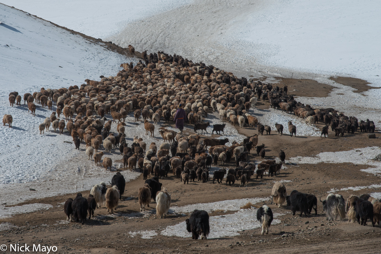 A Kazakh herding sheep, goats and yaks down a pass in Sagsai sum during the spring migration.