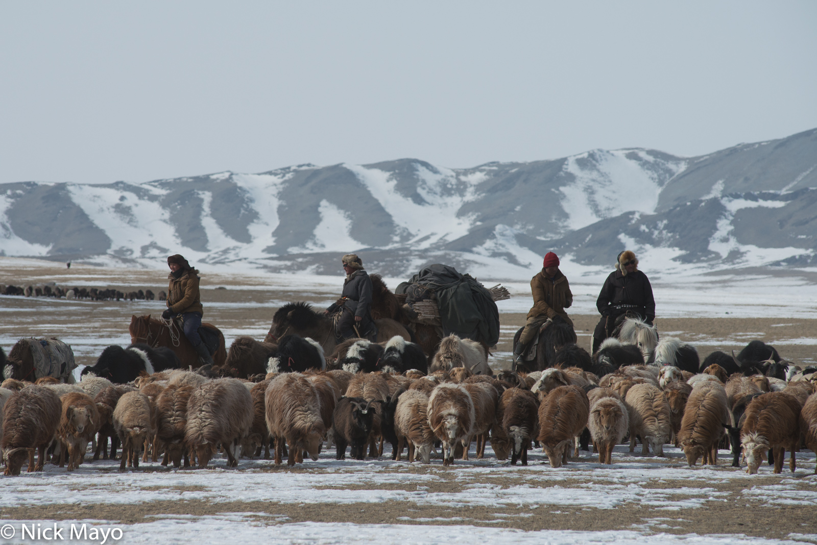 Bayan-Ölgii, Camel, Goat, Herding, Horse, Kazakh, Mongolia, Pack Animal, Sheep, Yak, photo