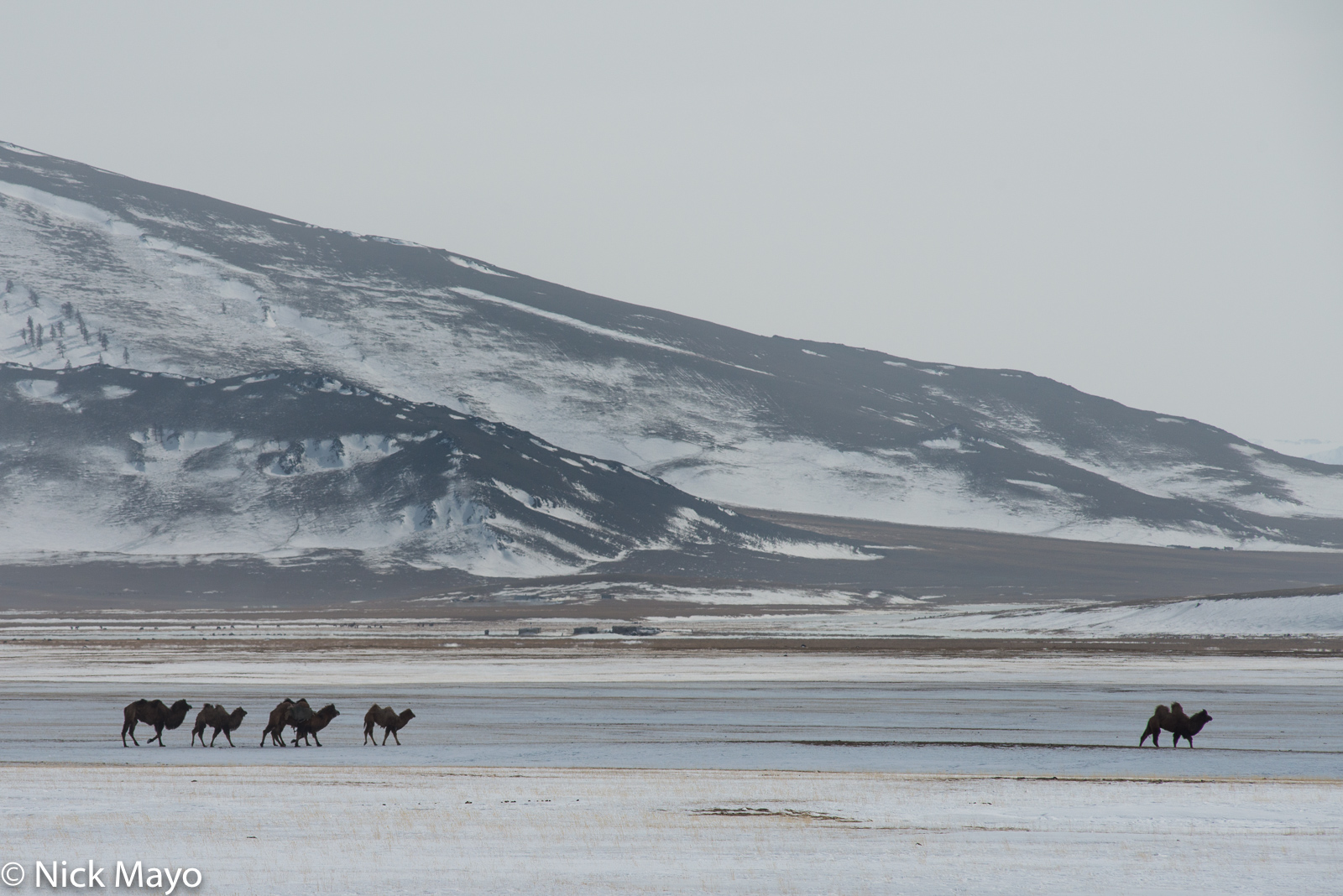 Bayan-Ölgii, Camel, Mongolia, photo