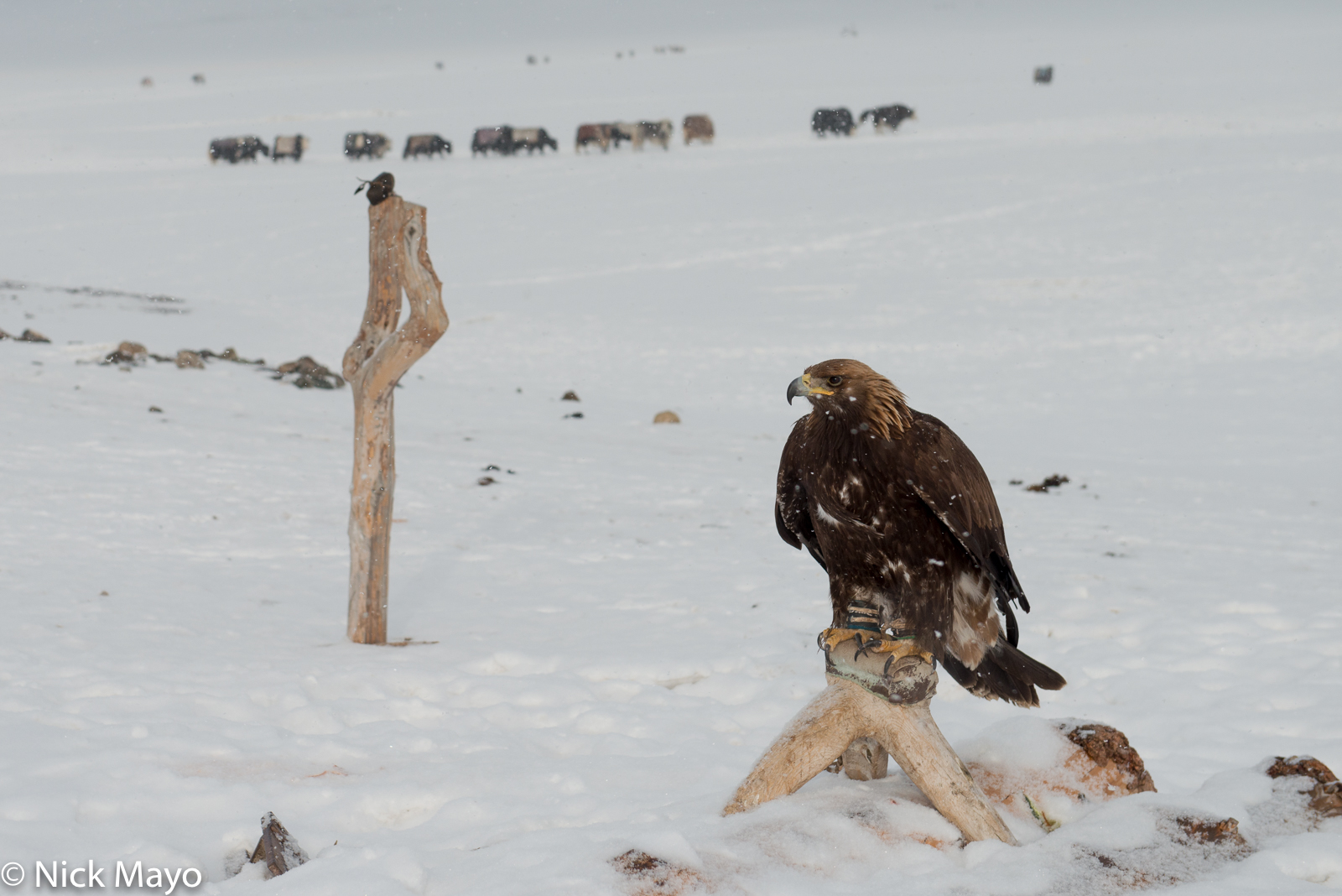 Bayan-Ölgii, Eagle, Mongolia, photo