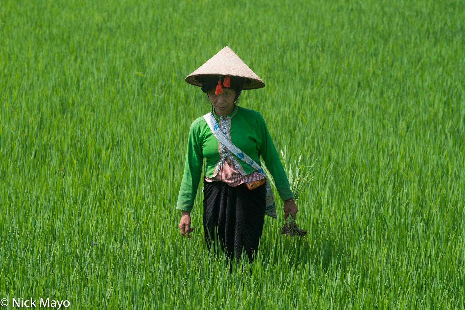Dai, Dien Bien, Paddy, Vietnam, photo