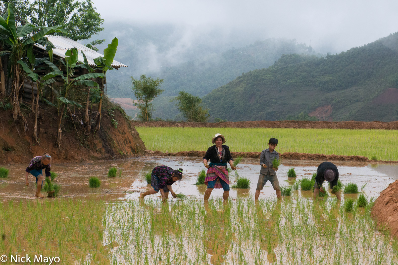 Dien Bien, Miao, Paddy, Transplanting, Vietnam, photo