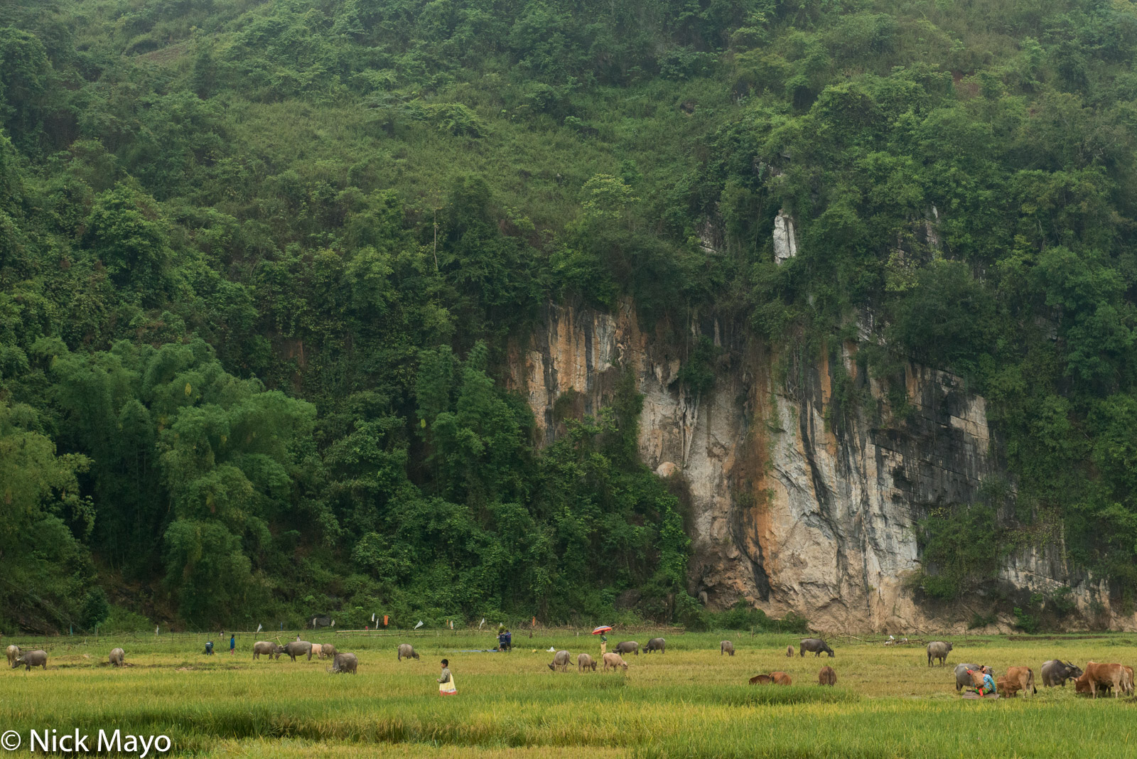Water buffalo and cattle graze on freshly cut paddy rice fields near Tua Chua.