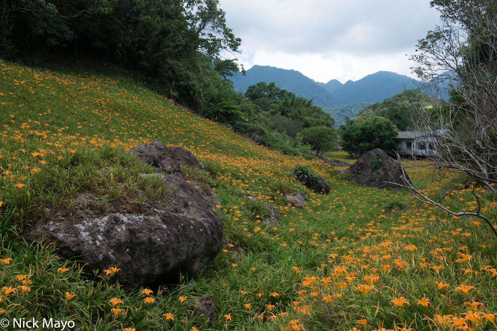 Daylily, East Coast, Taiwan, photo