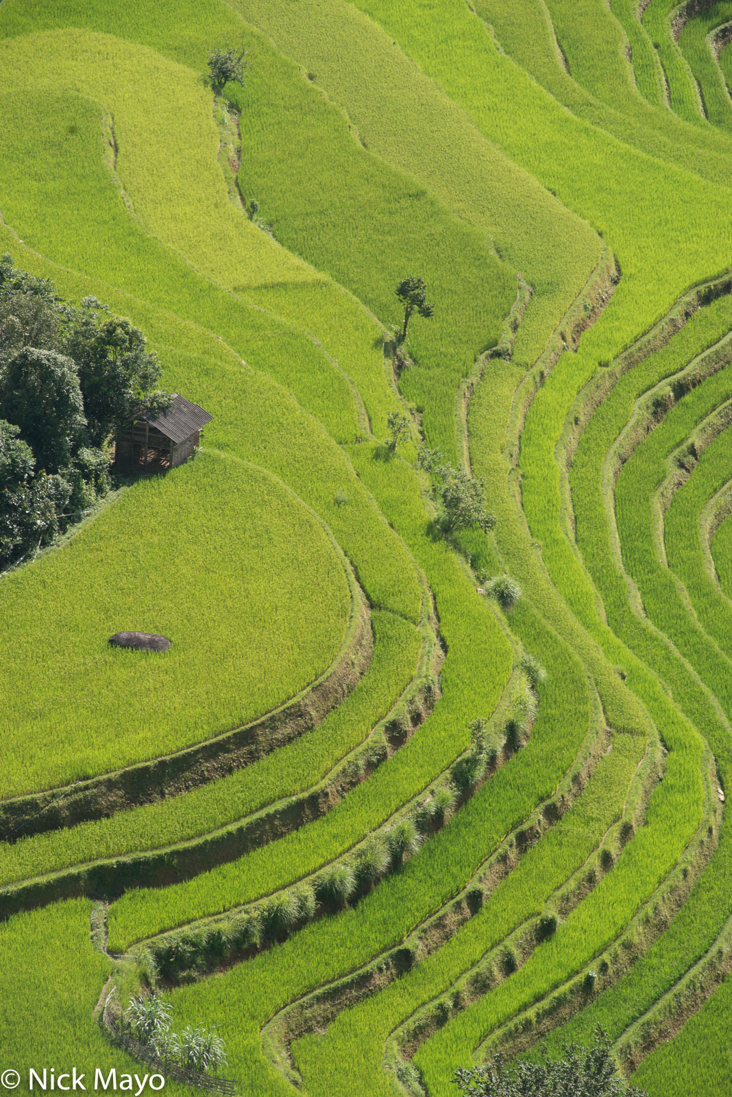 Golden paddy rice fields near Nam Ty.