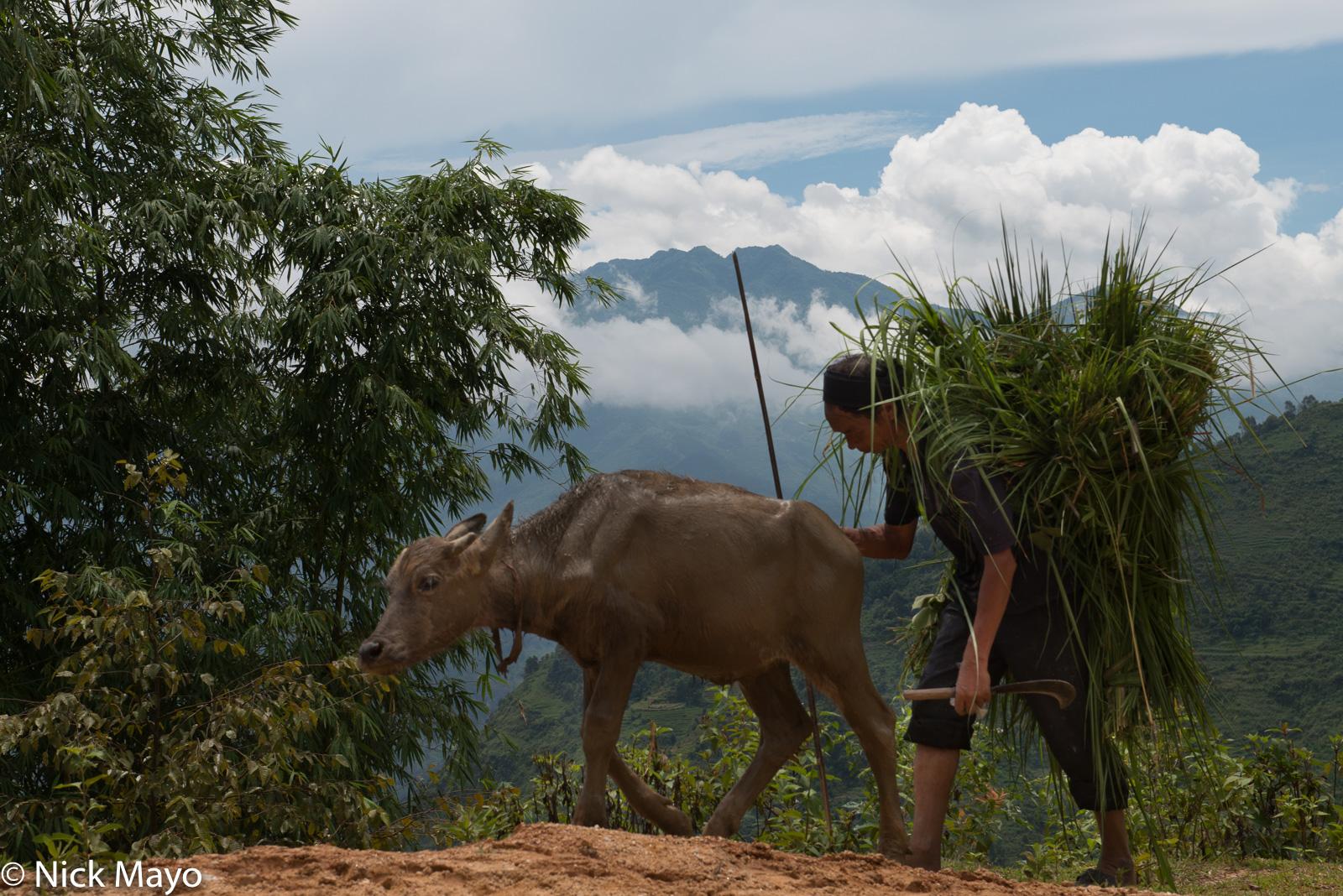 A La Chi farmer with a load of fodder driving a young water buffalo home at Ban Phung.