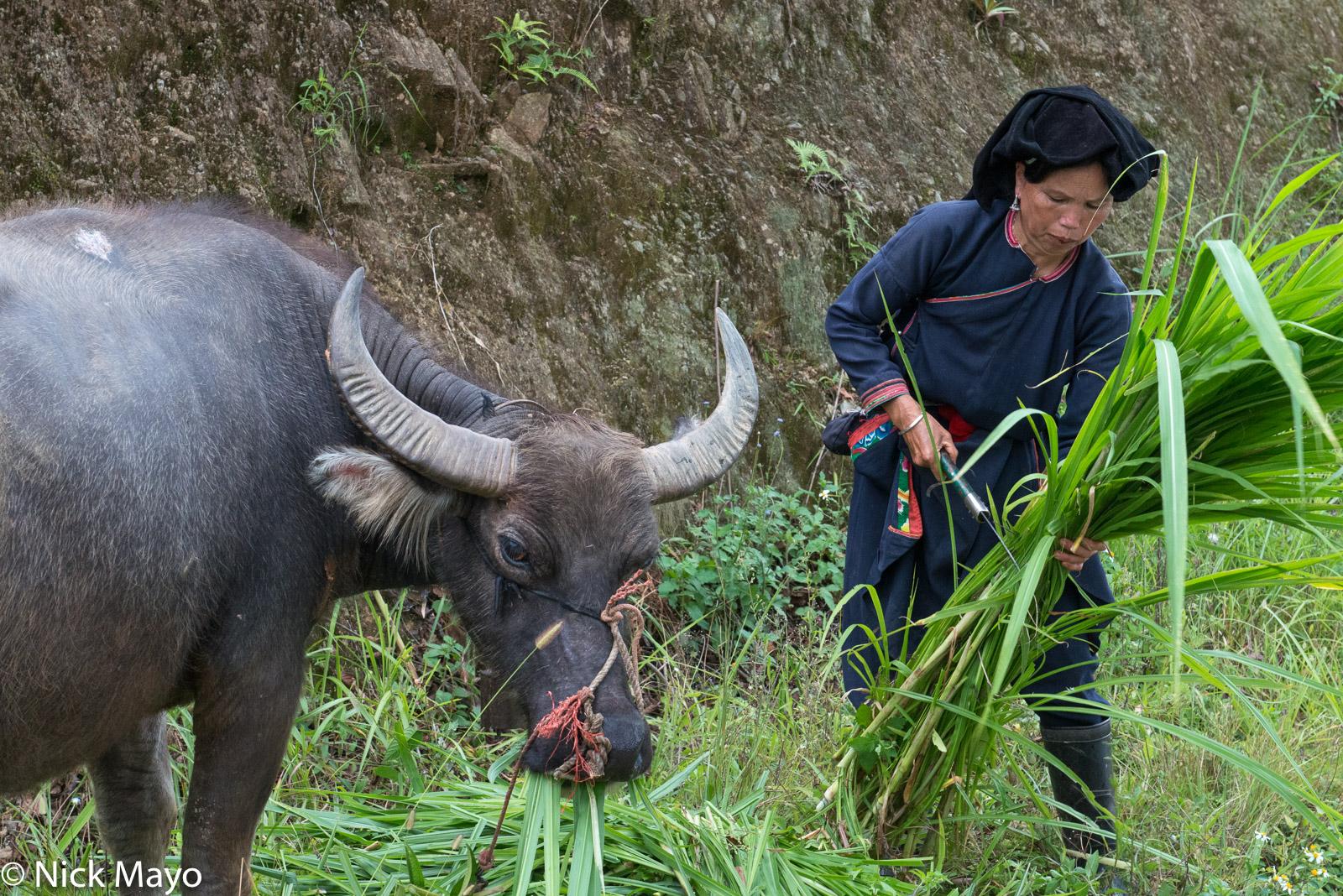 Bracelet, Earring, Fodder, Ha Giang, Hat, Vietnam, Water Buffalo, Yao, photo