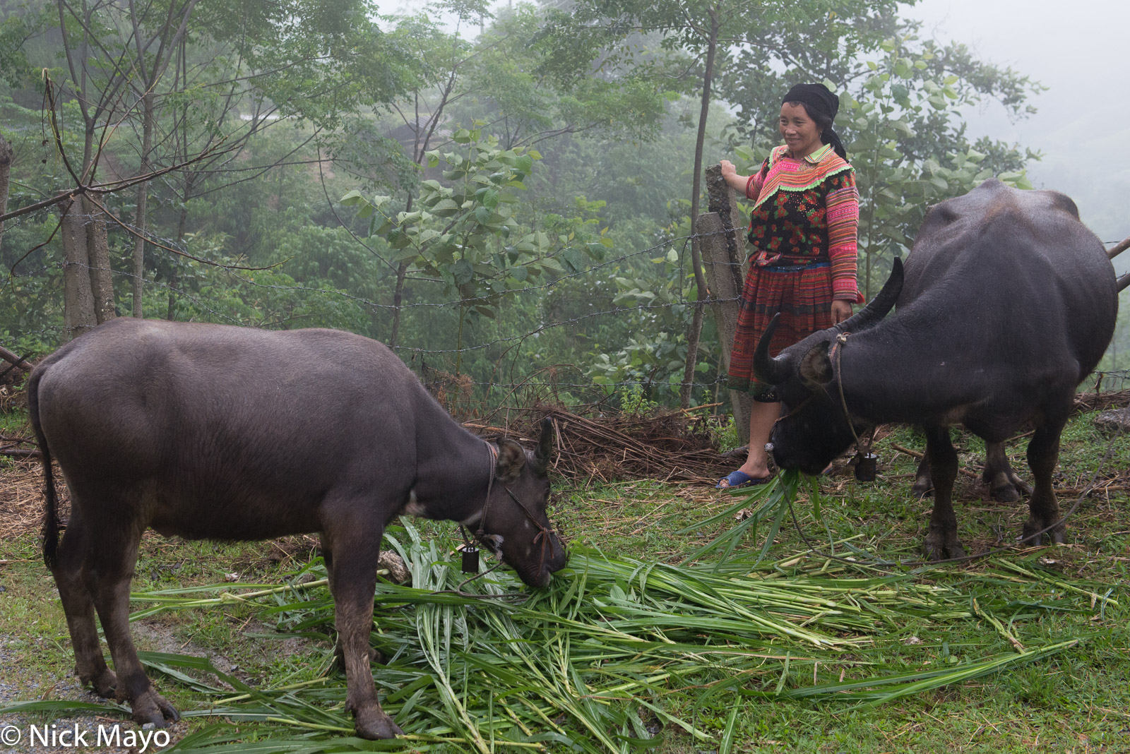 A Hmong woman watching two water buffalo feed near Nam Dich.
