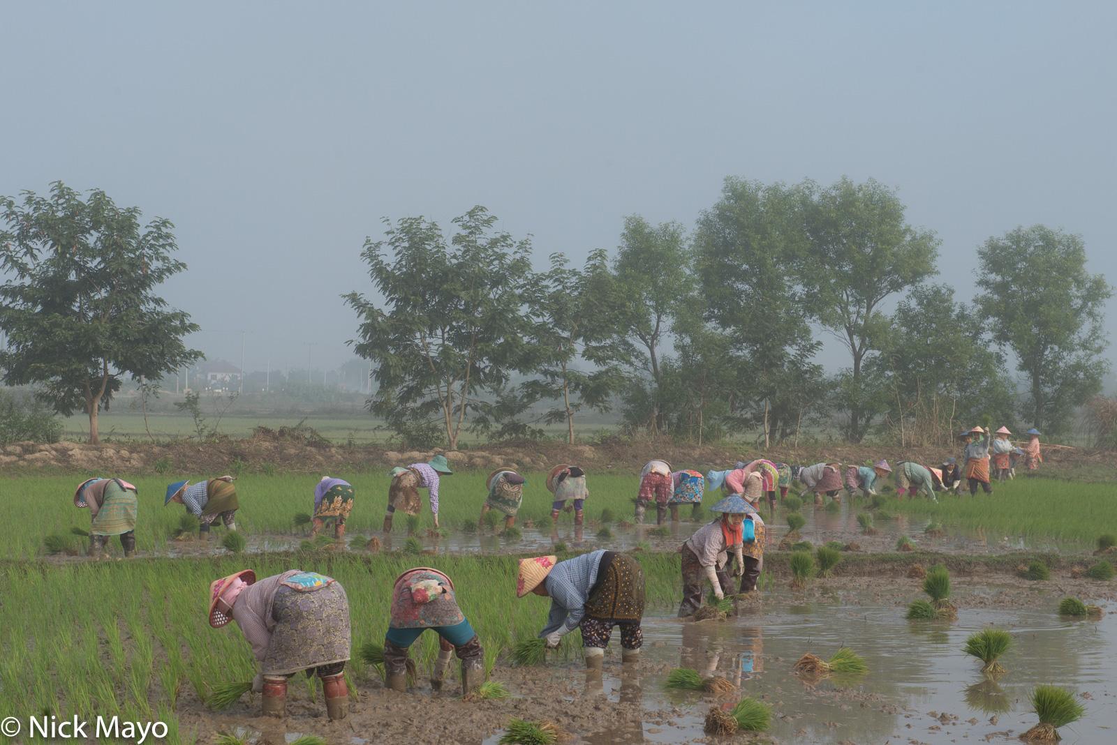 A large group of Shan women transplanting paddy rice near Kalaw.
