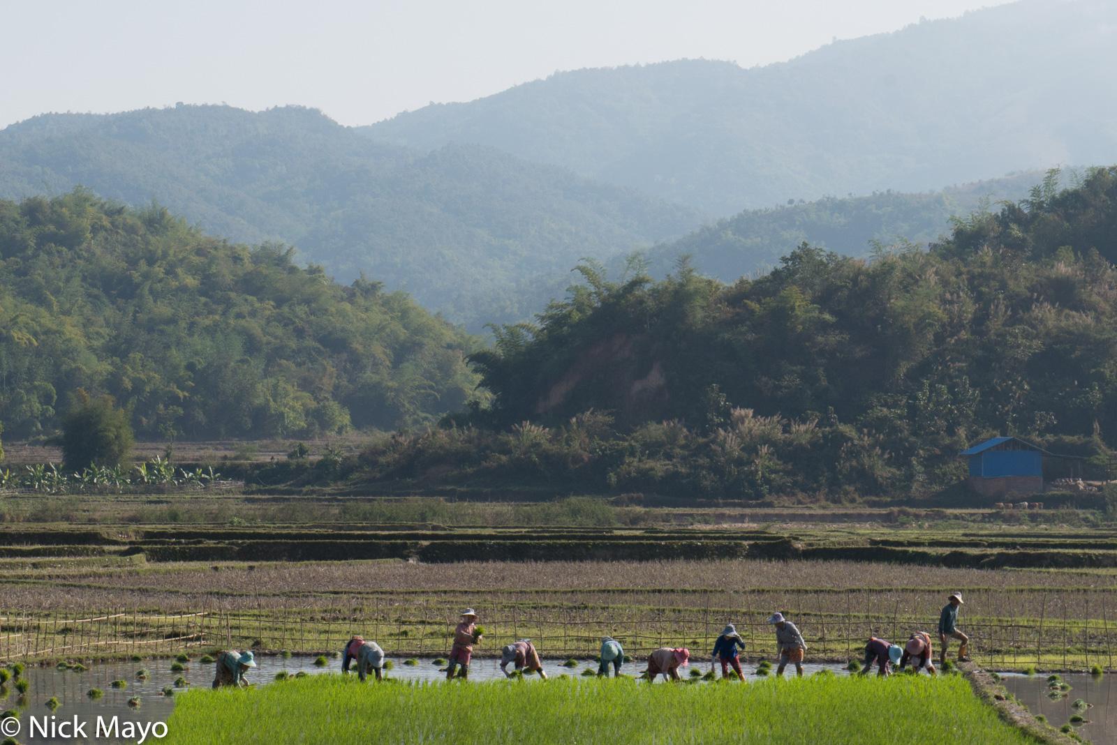 Burma, Paddy, Shan, Shan State, Transplanting, photo