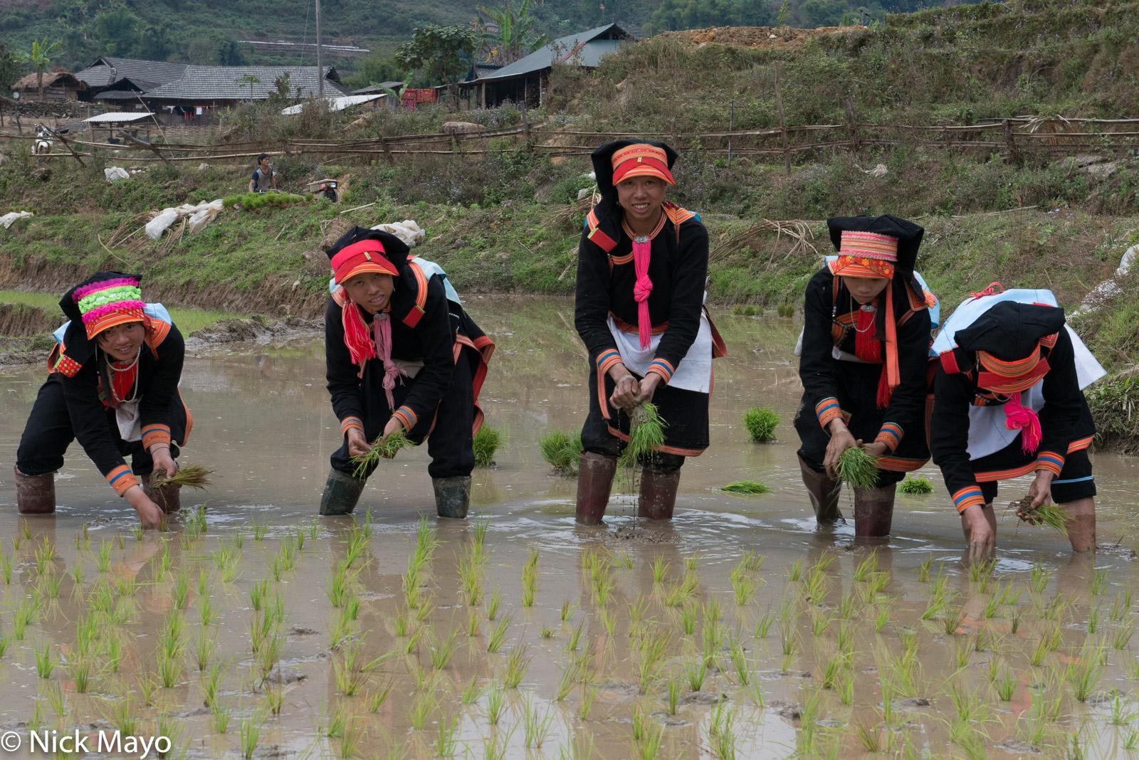 Lai Chau, Paddy, Transplanting, Vietnam, Yao, photo