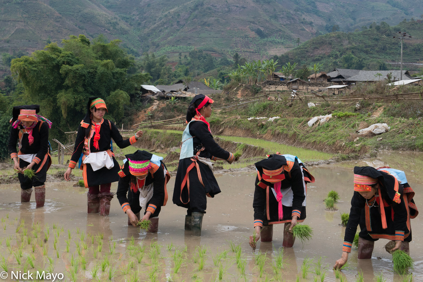 Lai Chau, Paddy, Transplanting, Vietnam, Yao, photo
