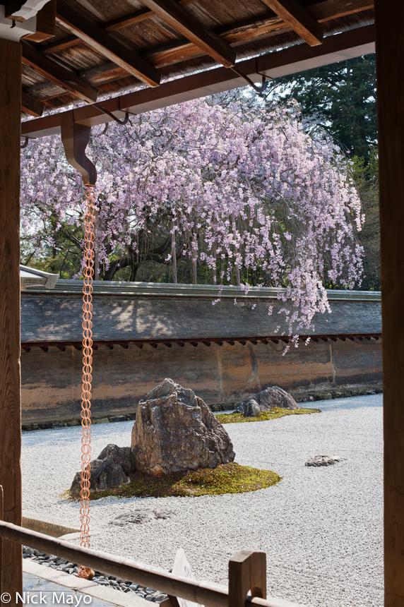 Sakura in the Ryoan-ji zen garden in Kyoto.