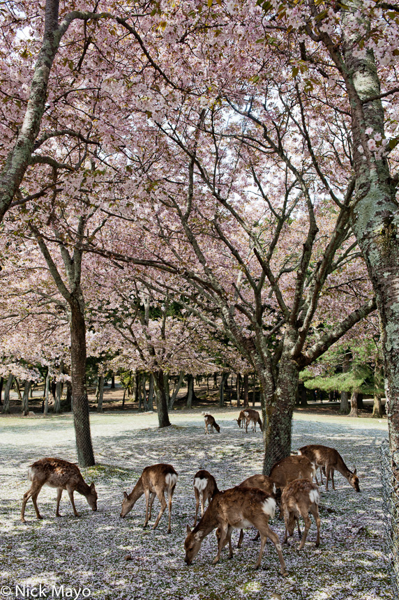 A deer herd eating fallen sakura blossom in the park at Nara.