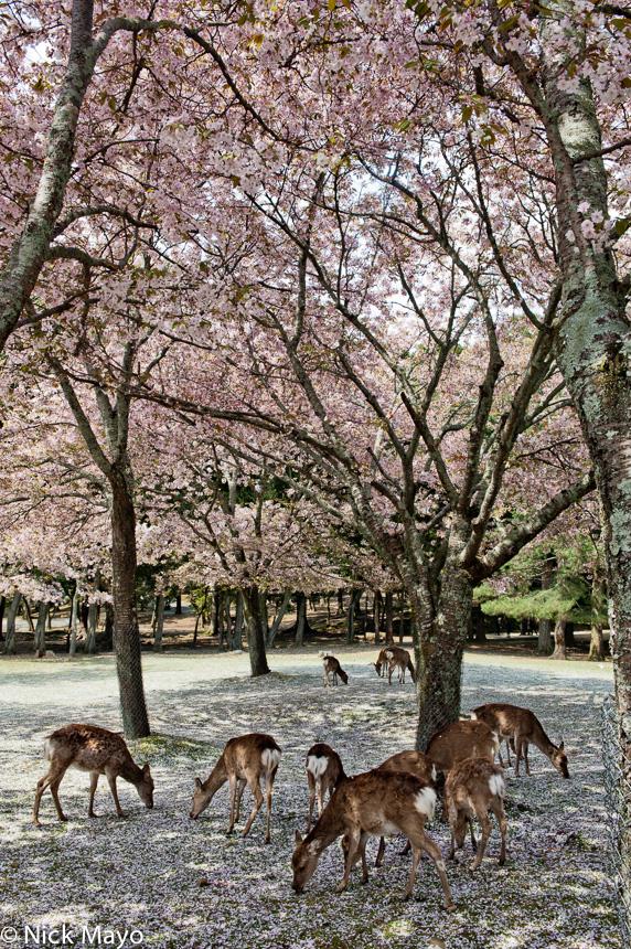 Deer,Japan,Kinki,Park, photo