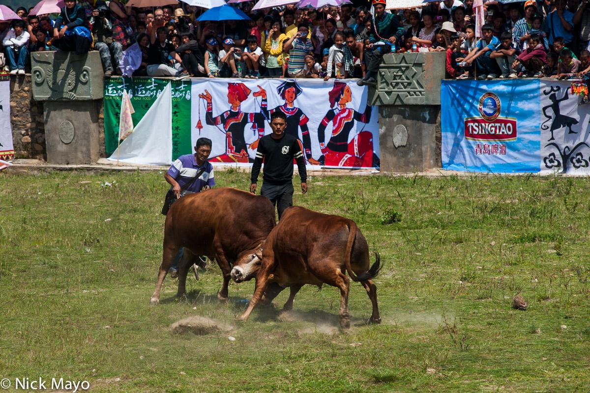Bullfight,China,Sichuan,Yi, photo