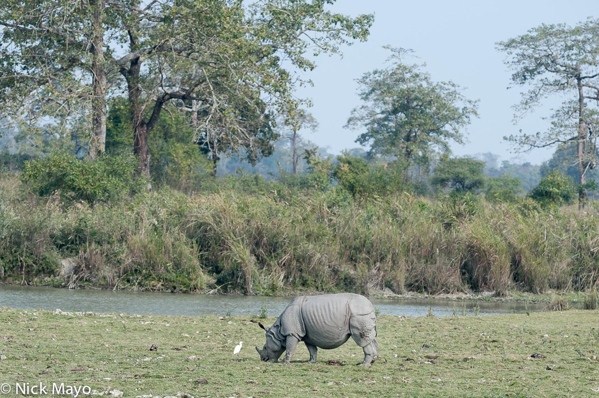 Assam,India,Rhino, photo