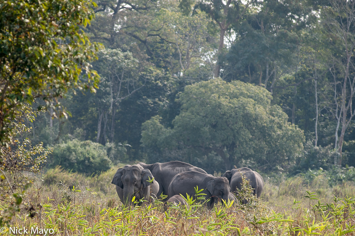 Assam,Elephant,India, photo