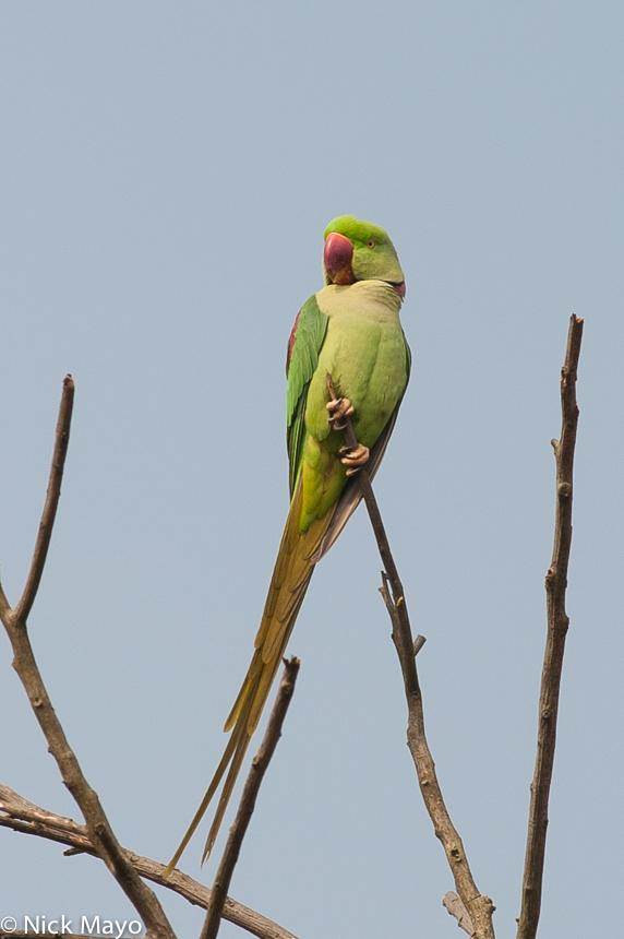 Assam,India,Parakeet, photo