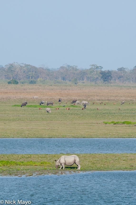 Assam,Buffalo,India,Rhino, photo