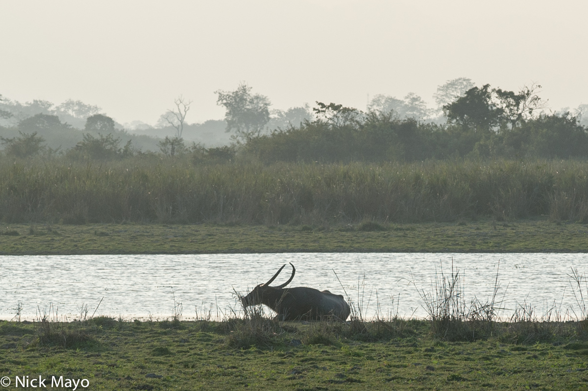 Assam,Buffalo,India, photo