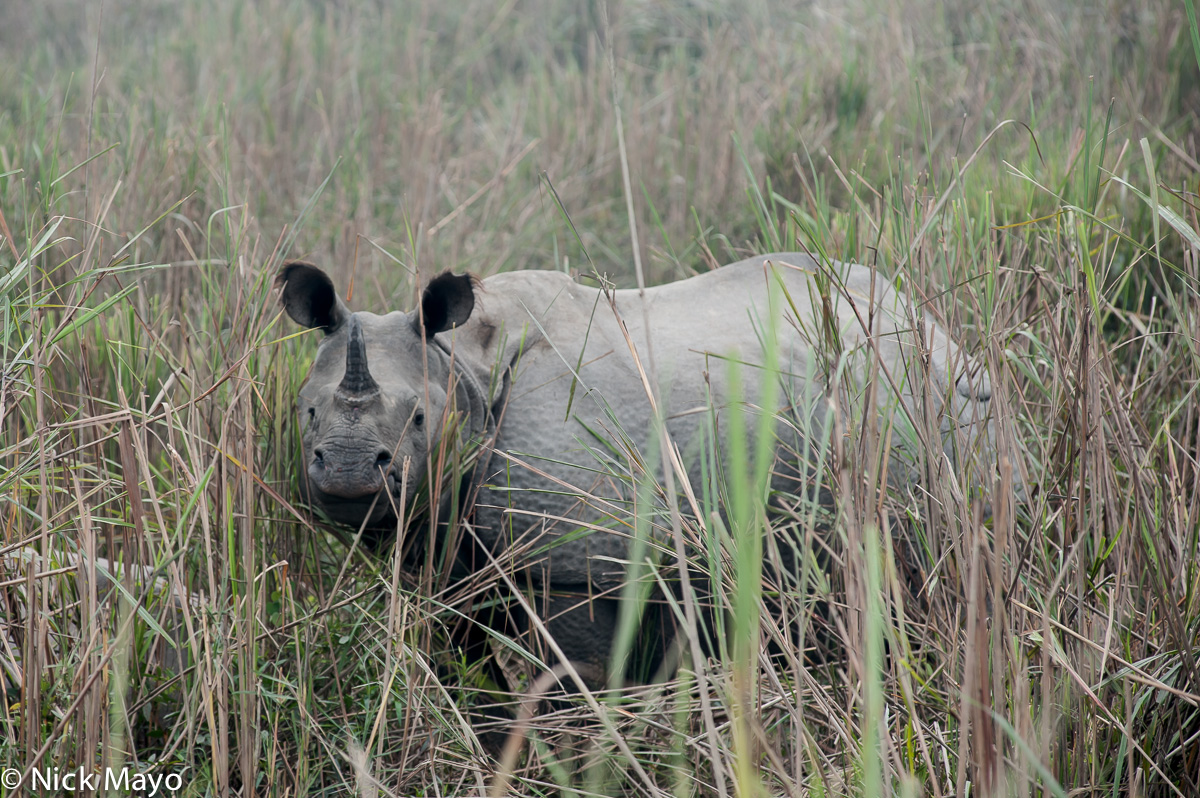 Assam,India,Rhino, photo