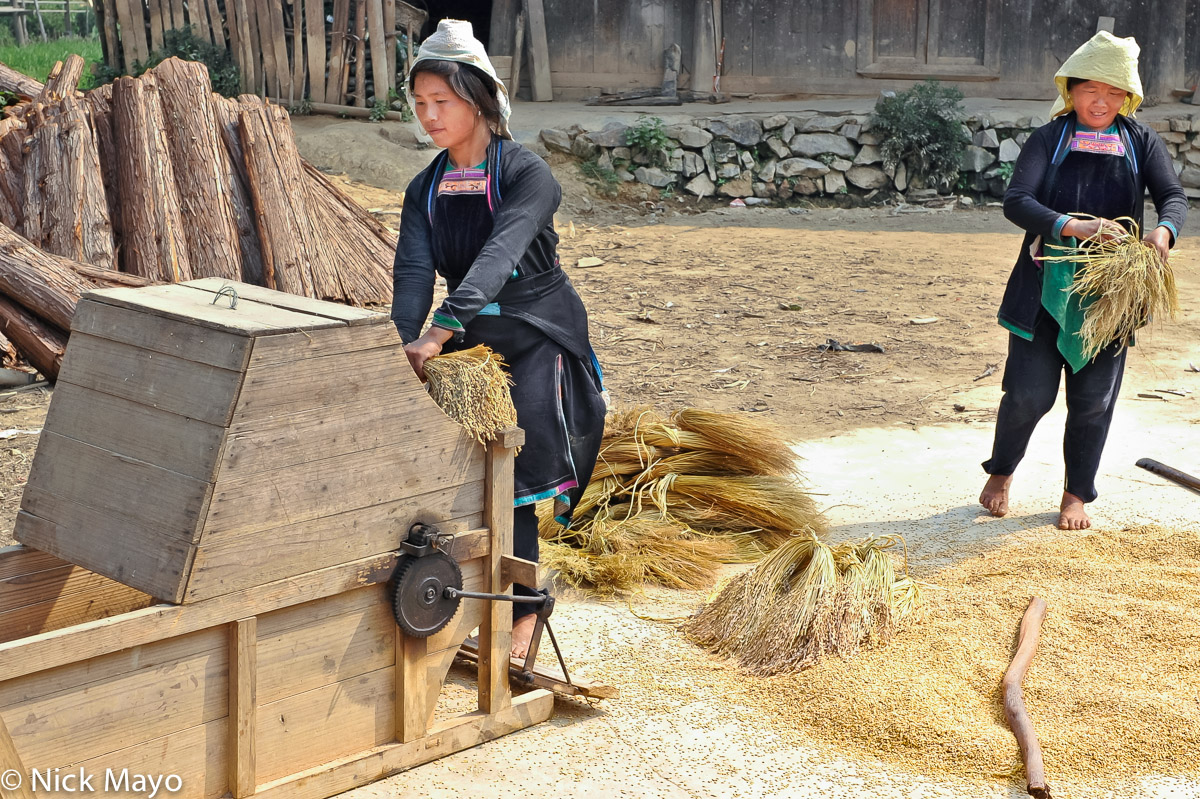 Dong women threshing paddy rice on a foot operated thresher in Wuei village.