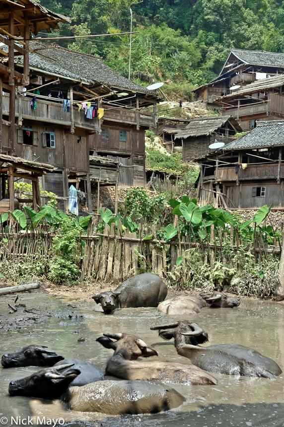 China,Guizhou,Village,Water Buffalo, photo