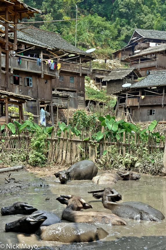 China,Guizhou,Village,Water Buffalo, photo