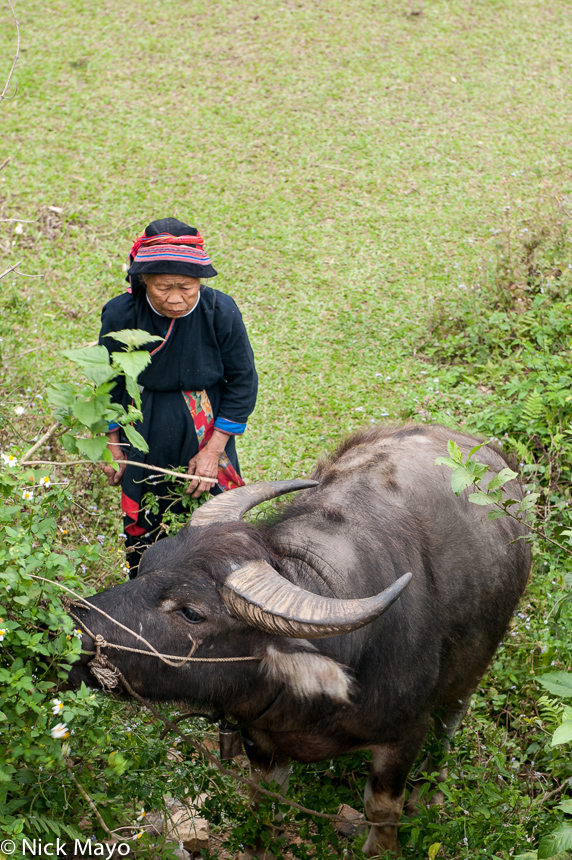 Ha Giang,Hat,Vietnam,Water Buffalo,Yao, photo