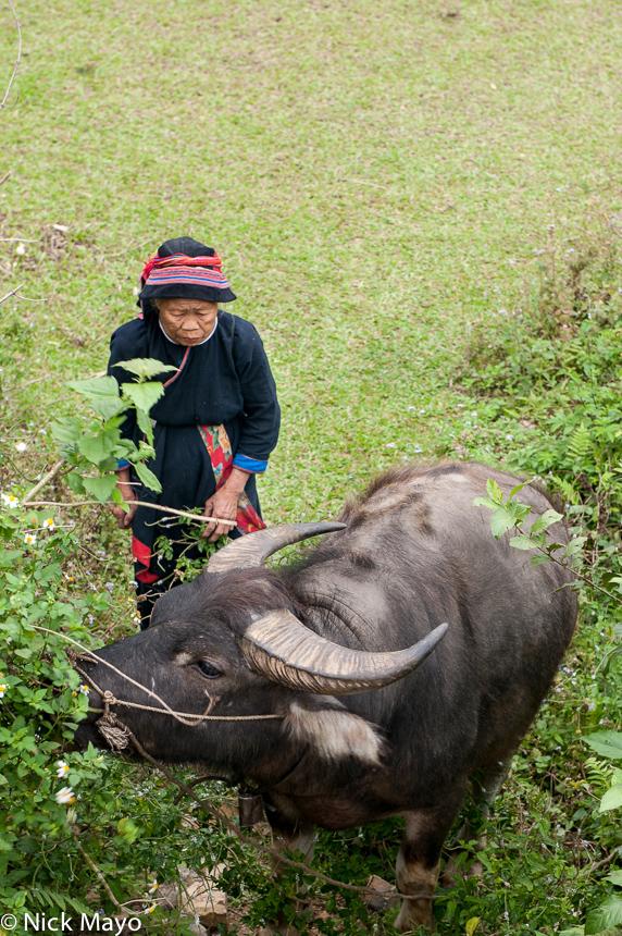 Ha Giang,Hat,Vietnam,Water Buffalo,Yao, photo