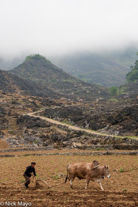 Ha Giang,Miao,Ox,Plough,Ploughing,Vietnam, photo