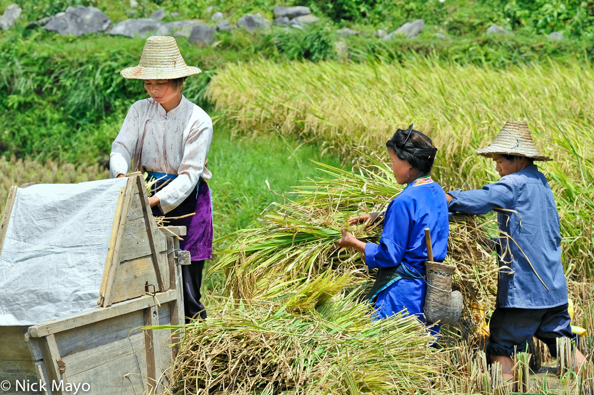 Three Zhuang women, one carrying a sickle case, threshing paddy with a foot operated thresher near Gan Bien.