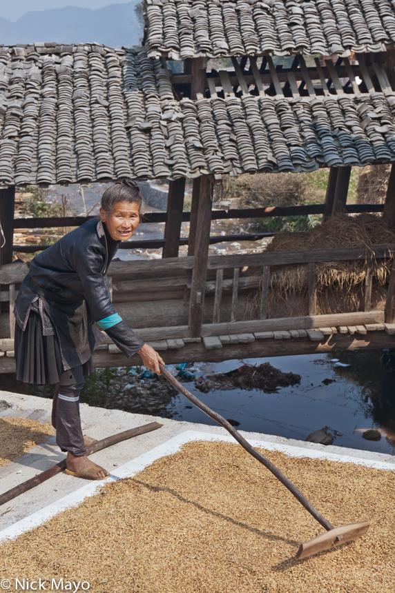 A Dong woman raking paddy rice in Zhengzhong.
