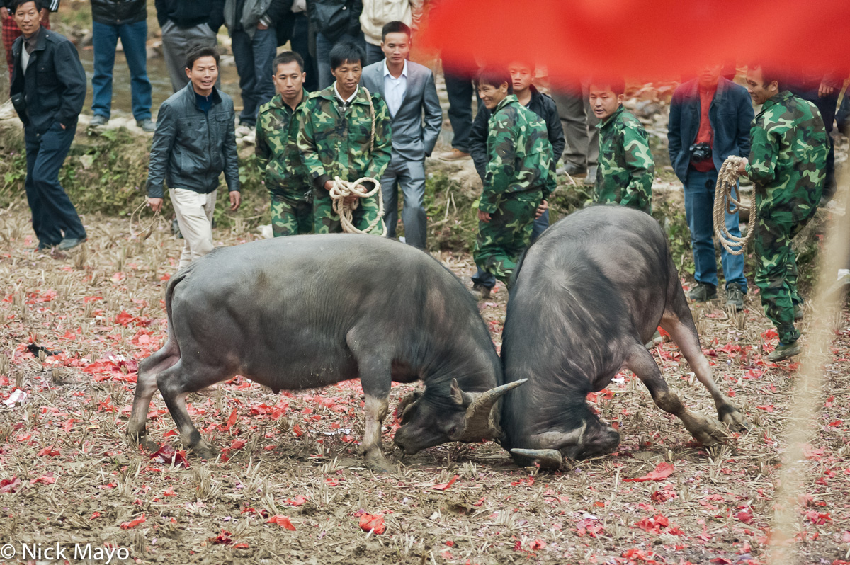 Bullfight,China,Guizhou,Water Buffalo, photo