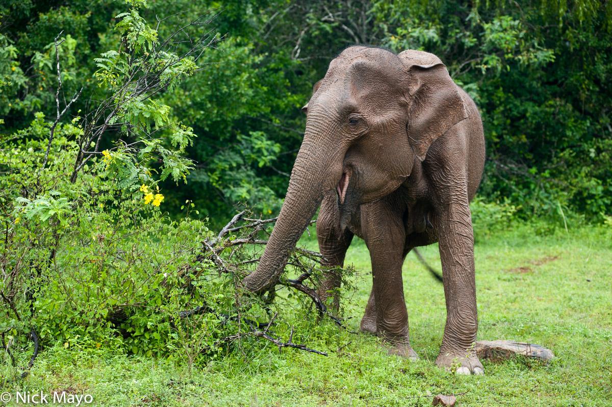An elephant feeding in the Yala National Park.