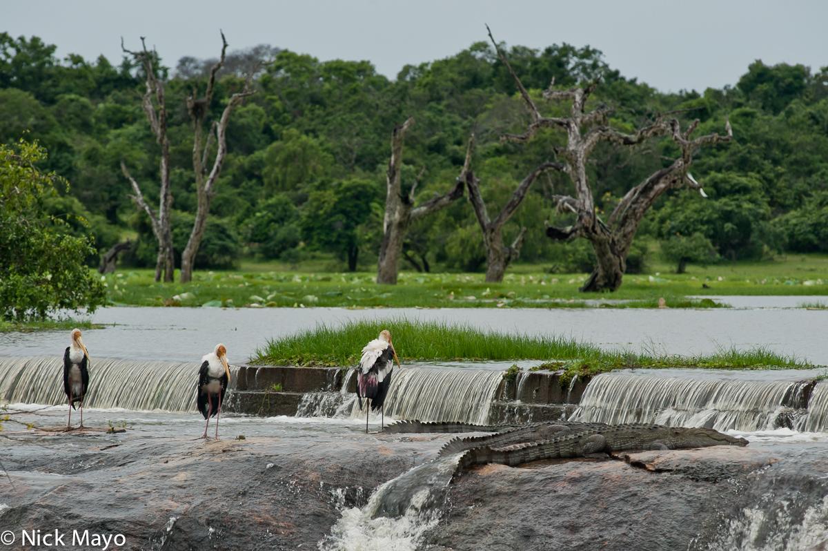 Bird,Crocodile,Southern Province,Sri Lanka, photo