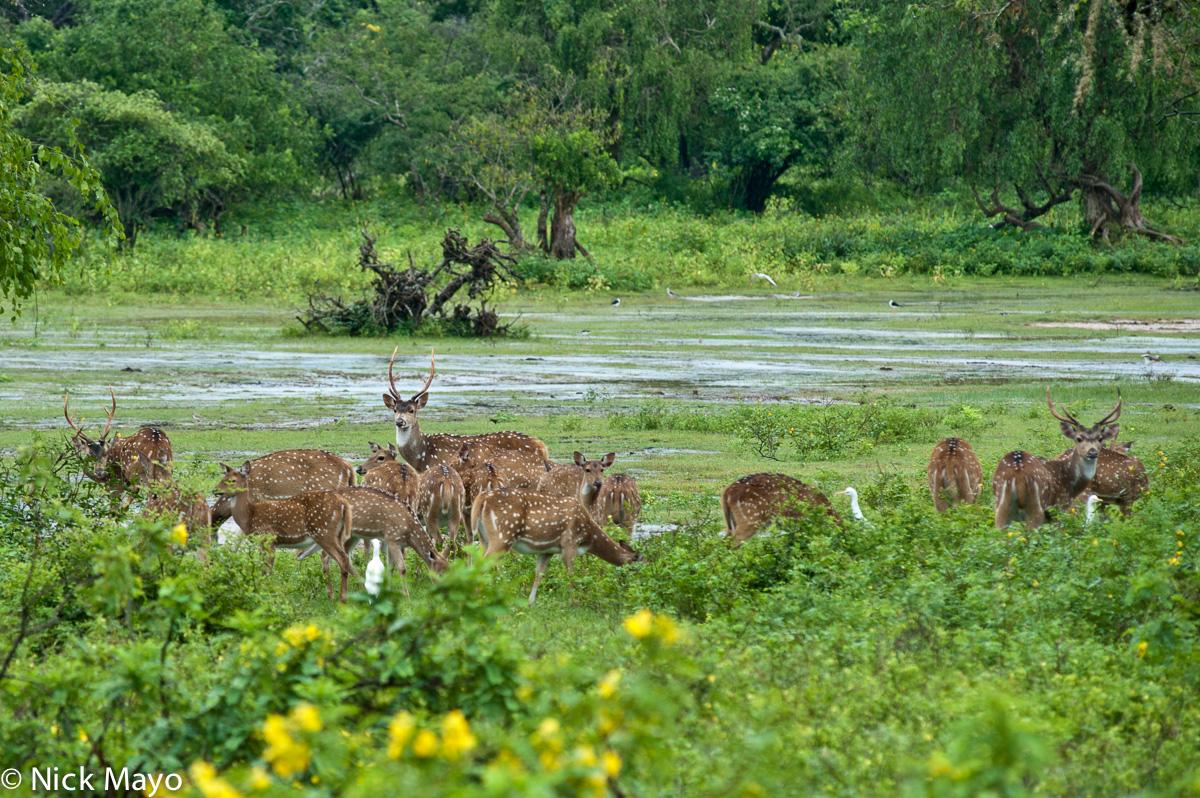 Deer,Southern Province,Sri Lanka, photo
