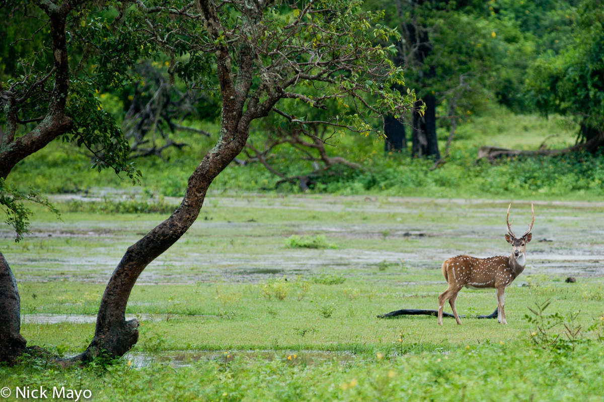 Deer,Southern Province,Sri Lanka, photo