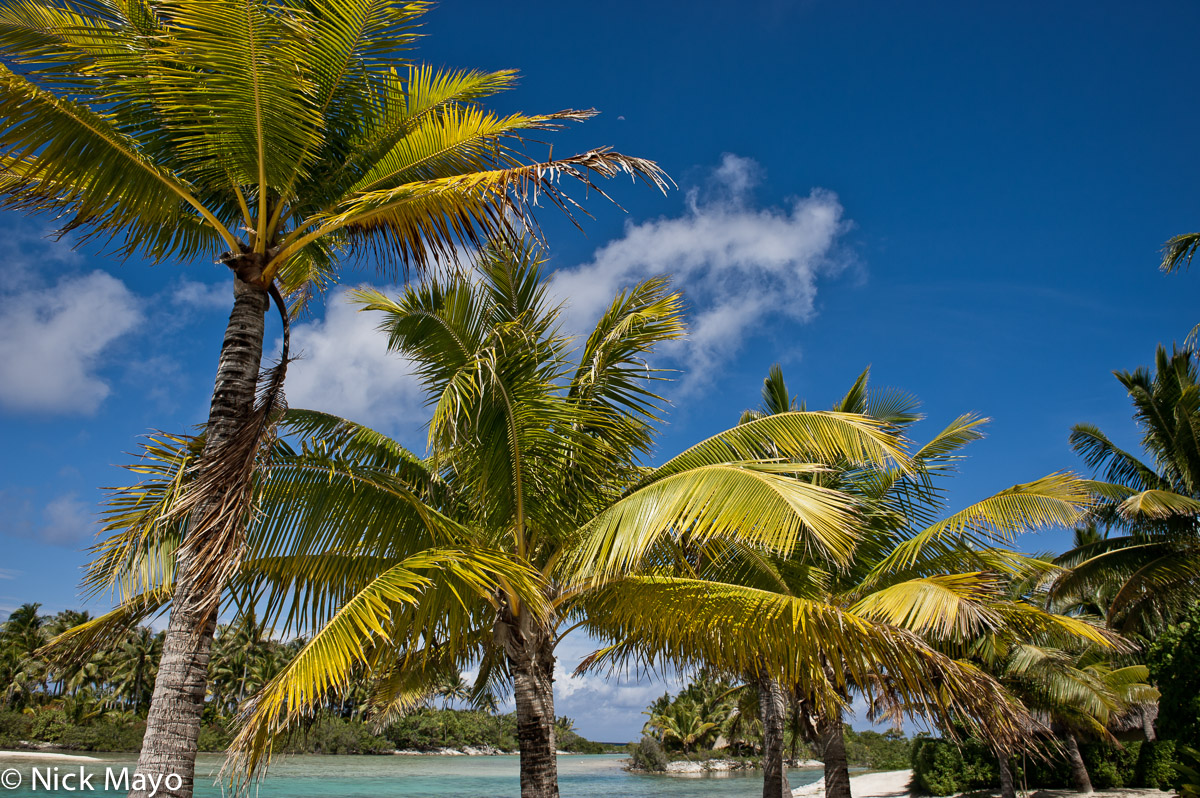 Coconut Palm,French Polynesia,Iles Sous Le Vent, photo