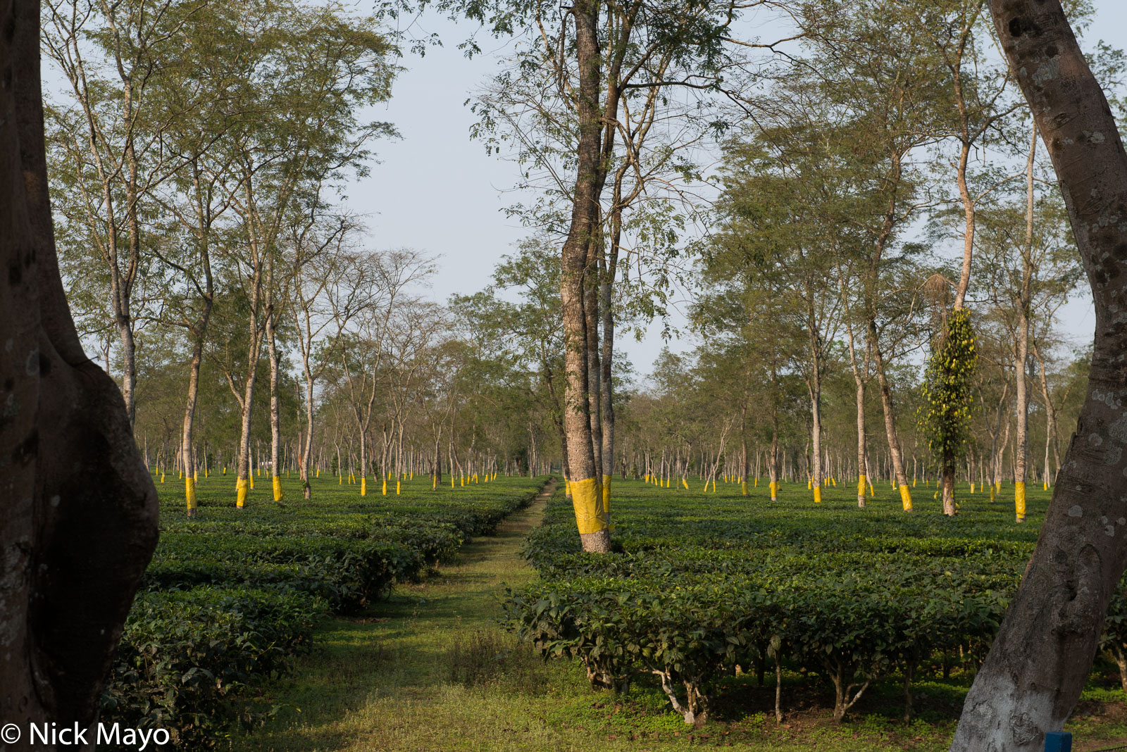 Assam, India, Tea Field, photo