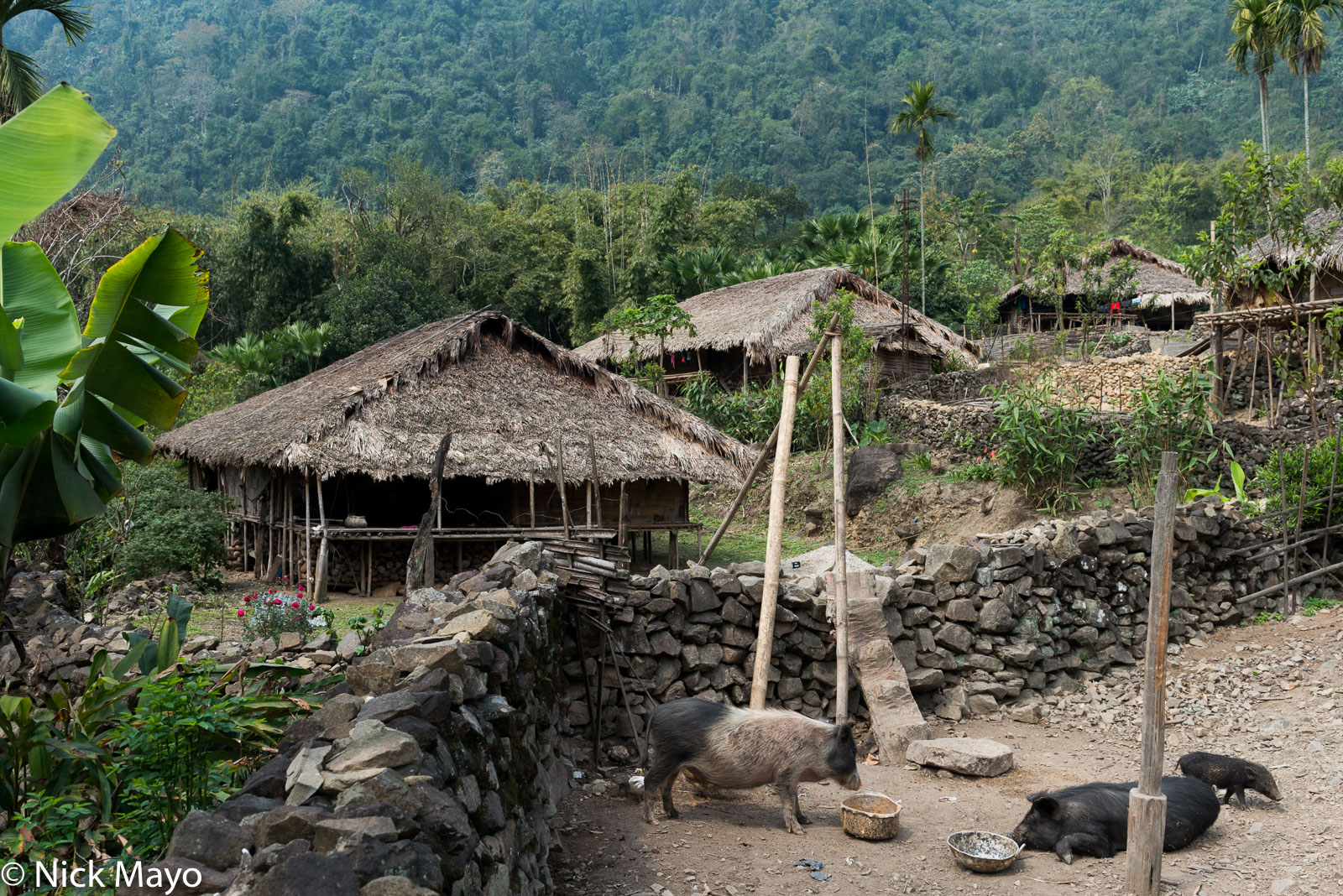 Arunachal Pradesh, India, Pig, Thatch, Village, photo