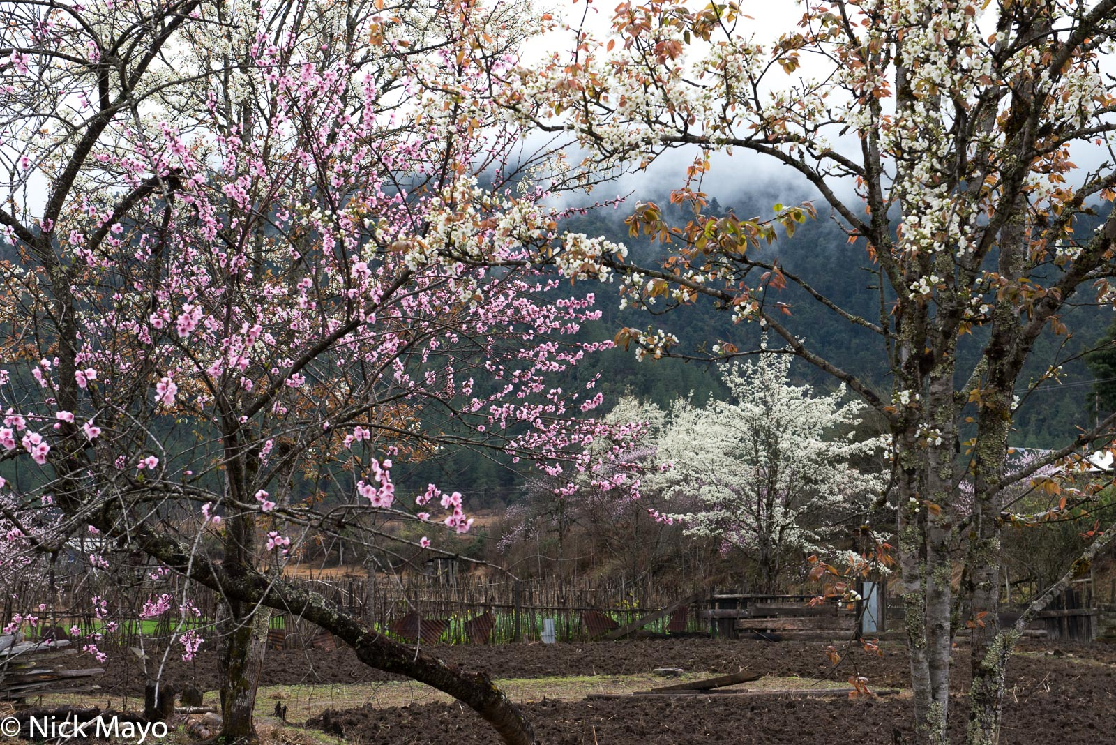 Himalayan blossoms at Mechukha.