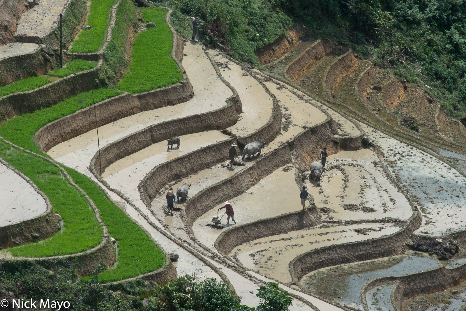 Lao Cai, Paddy, Ploughing, Vietnam, Water Buffalo, photo