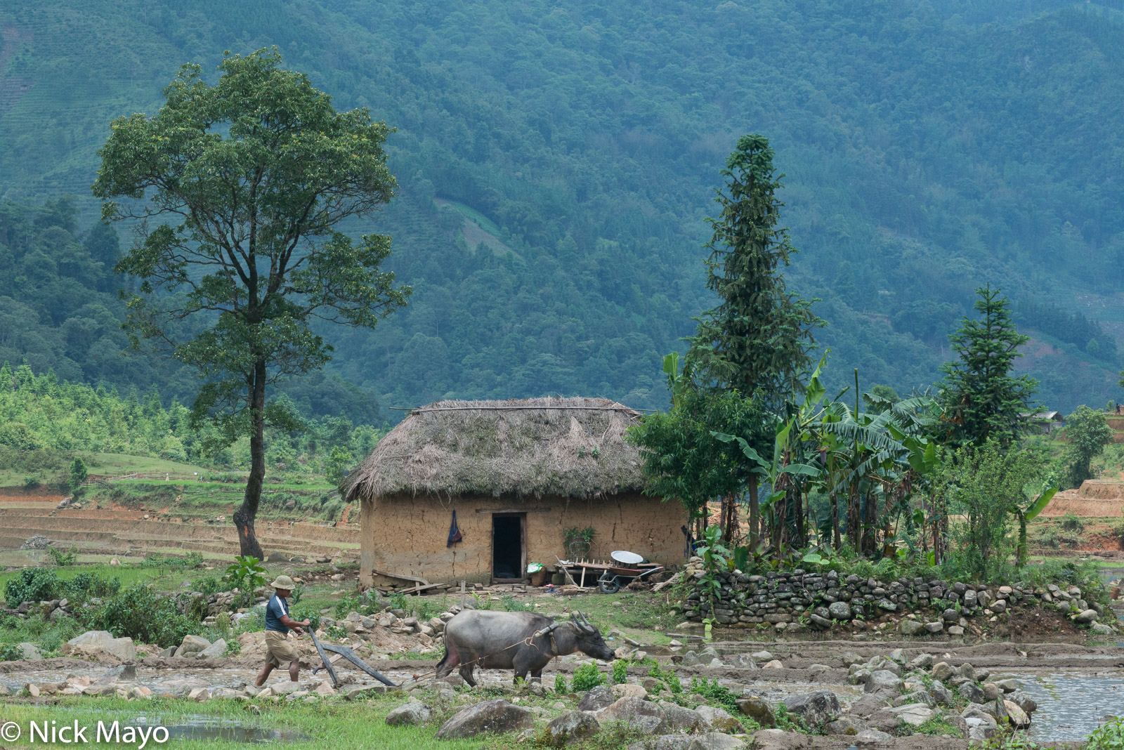 A Hani farmer ploughing with his water buffalo in front of a mushroom house near Y Ty.