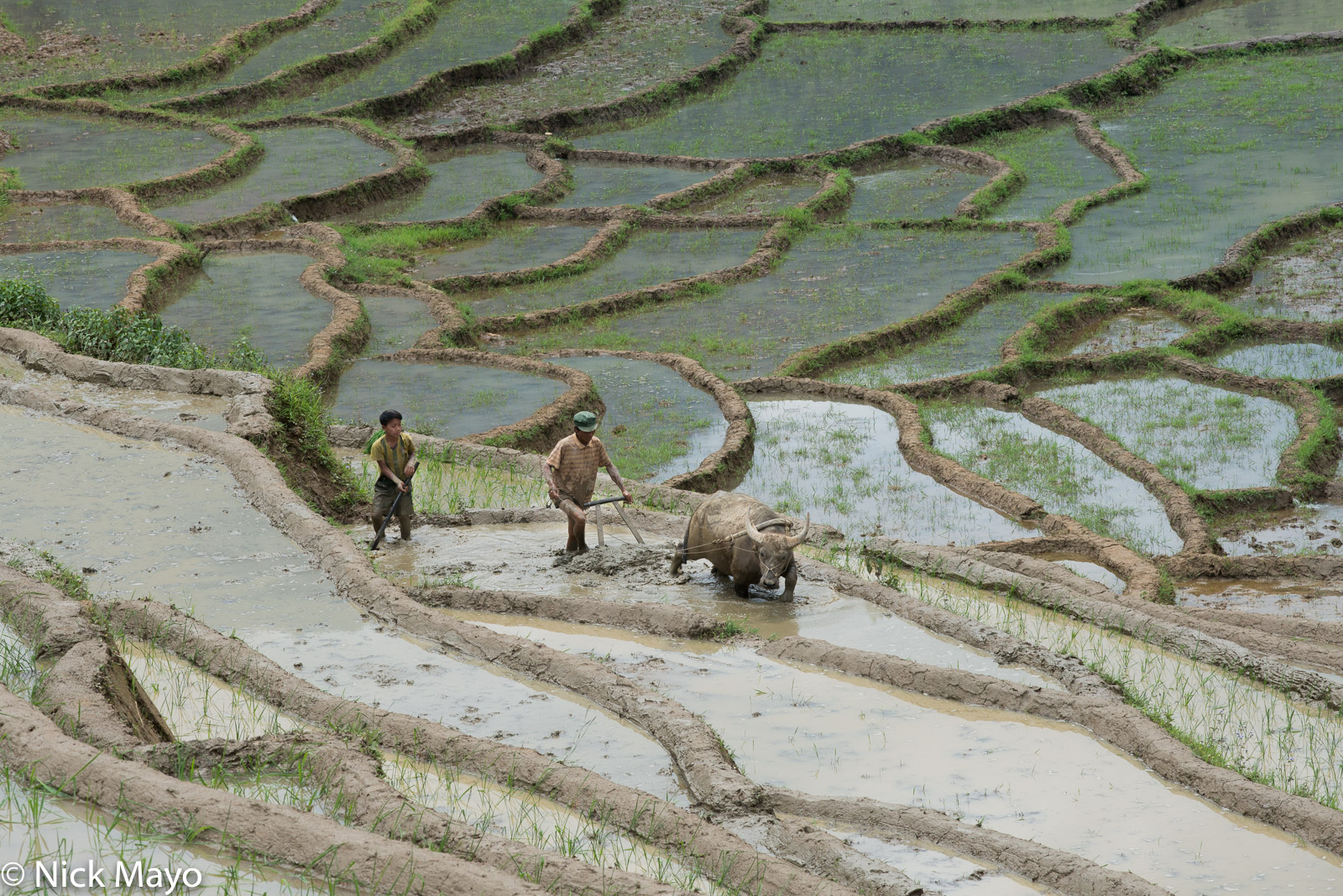 A Hani farmer ploughing his fields with a water buffalo near Y Ty.